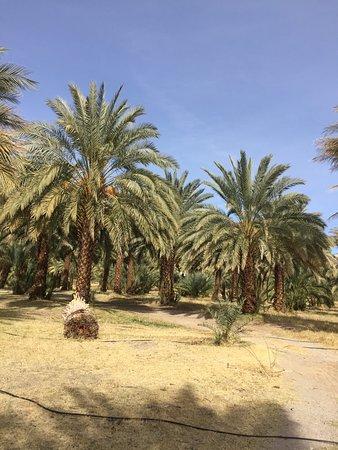 Tecopa, Californien: Date palm orchard