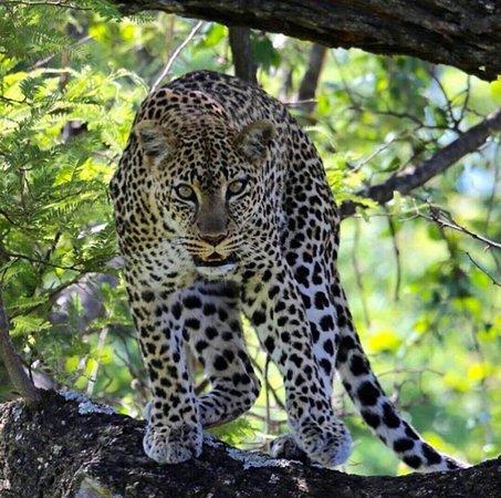 Nakuru, Kenia: Hisia Safaris - leopardo