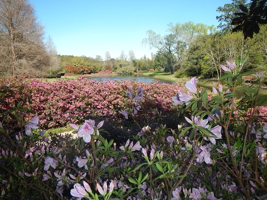 Theodore, Алабама: azaleas at the end of their blooming season