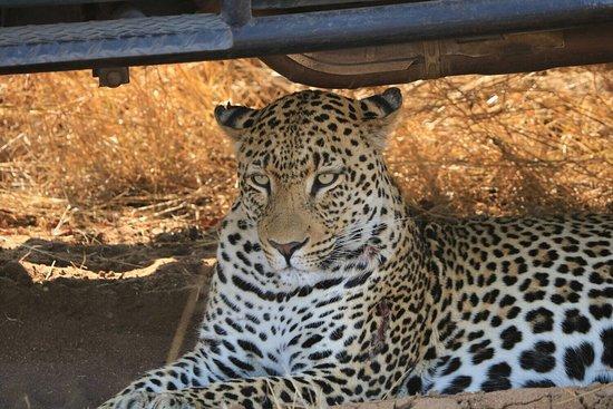 Manyeleti Game Reserve, South Africa: leopardo_large.jpg