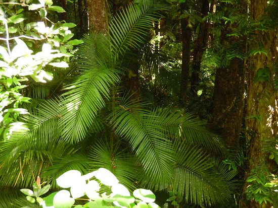 Ferns in Mossman Gorge