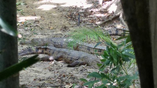 Mossman Gorge: Two crocodiles resting at Wildlife Habitat