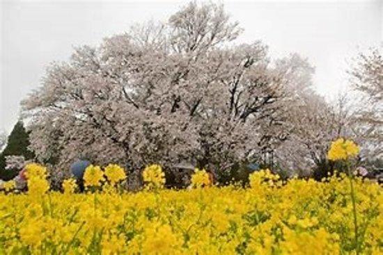 Isshingyo Park: 4月上旬~中旬が見ごろです