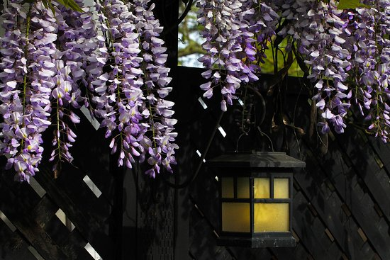 Honor Mansion, A Wine Country Resort: Wisteria in Bloom!