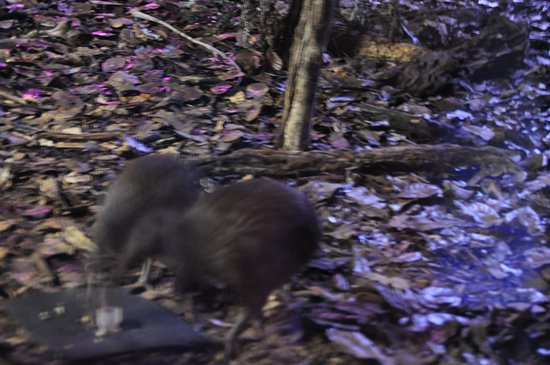 Kiwi North, Kiwi House and Museum: Kiwis getting feeded