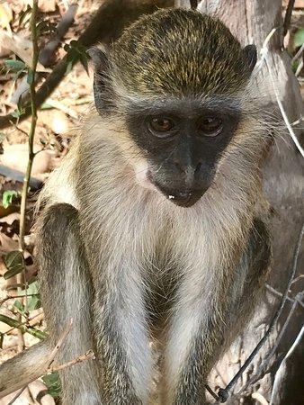 Ngala Lodge: Monkey
