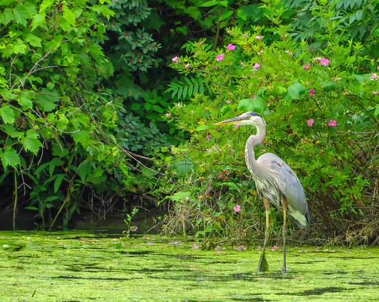 Newbury, OH: A Great Blue Heron on the edge of Punderson Lake