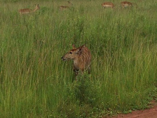 Hluhluwe, Sydafrika: Nyala