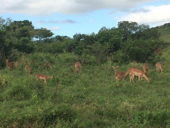 Hluhluwe, Sydafrika: Impalas