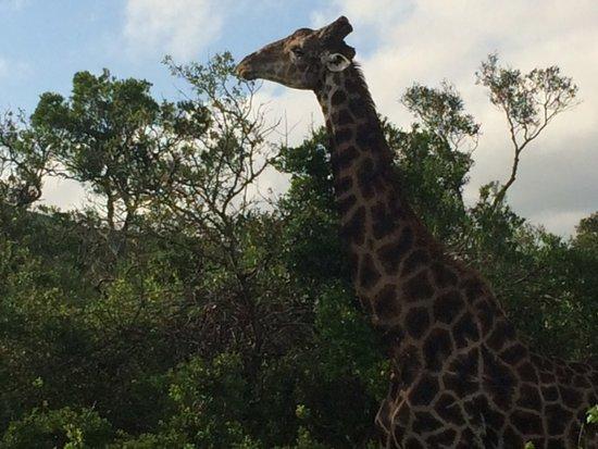 Hluhluwe, Zuid-Afrika: Girafe