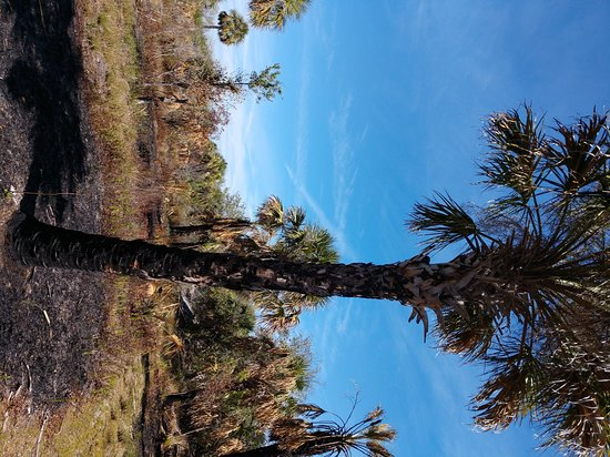 Ruskin, FL: Palm tree that survived the burn