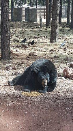 Bearizona Wildlife Park: 20180316_140930_large.jpg