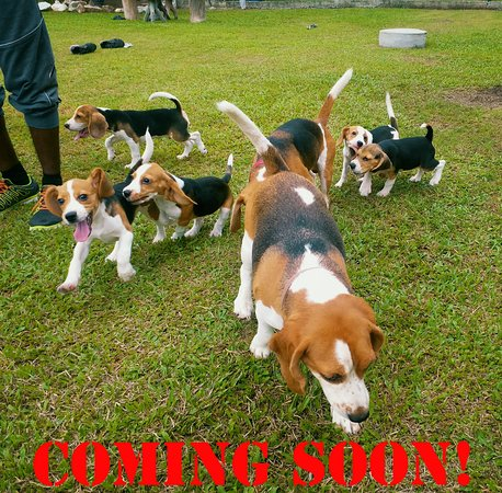 Puchong, Malaysia: indoor and outdoor setup to play and interact with 10 to 20 beagle dogs