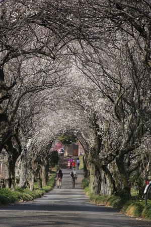 Hadano, Ιαπωνία: 香雲寺:梅のトンネル