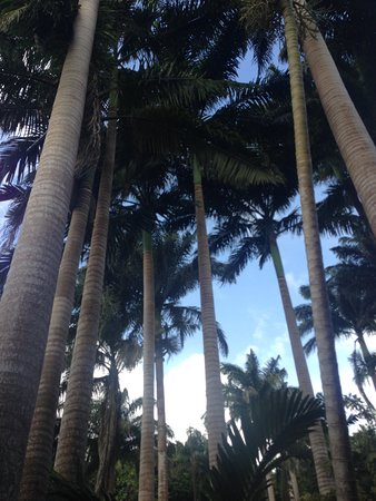 Hunte's Gardens: The king palm canopy