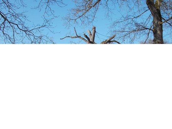 Concoret, Γαλλία: 1000 year pld Oak of Guillotin