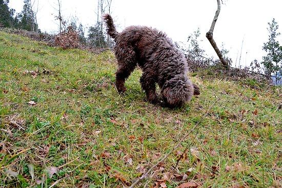 The Truffle Hunter: Cioco the truffle dog