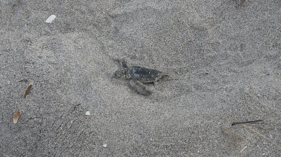 Seafarer Beach Resort: baby turtle hatchling