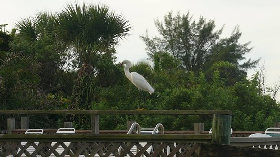 Seafarer Beach Resort: egret visiting the pool