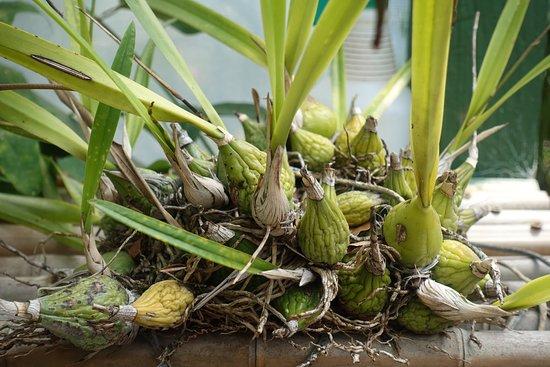 Monteverde Orchid Garden: orchid bulbs