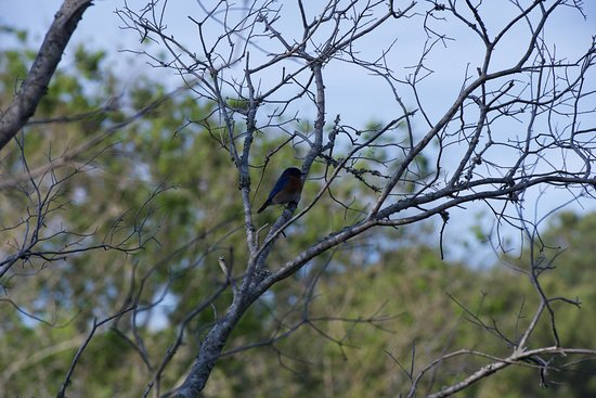 Santee National Wildlife Refuge: Lots of blue bird boxes around for these guys