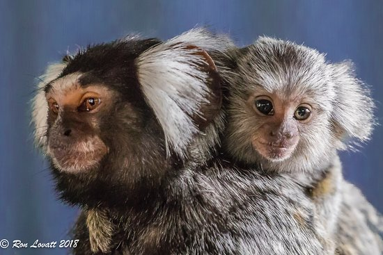 Riverside, Australia: Pigmy Marmoset and baby