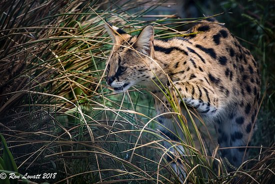 Riverside, Australia: Serval on the prowl