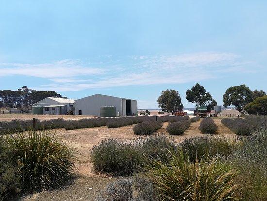 Emu Bay, Australien: lavanda