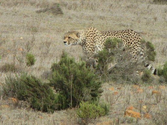 Garden Route Game Lodge: Gepard, ganz nah gesehen