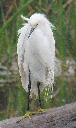 Weslaco, TX: Snowy egret
