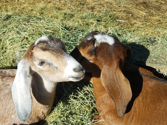 Little River, Californien: Cocoa and Sugar were born in September 2017. They LOVE people!