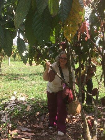 Santa Cruz de Yojoa, Honduras: Selecting cacao pods.
