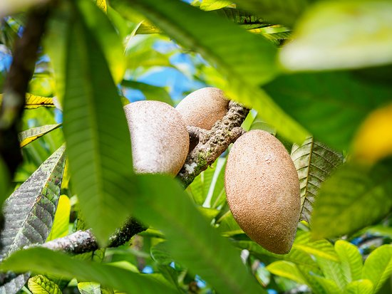 Diwan, Австралия: Mamey Sapote - see the fruit you are eating!