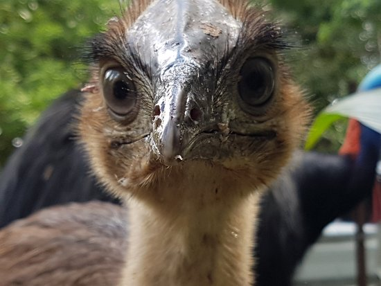 Diwan, Australia: Daintree Ice Cream Co is a wildlife sanctuary and often gets visitors like this cassowary chick