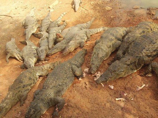 La Petite Cote, Senegal: coocodrilli al pasto