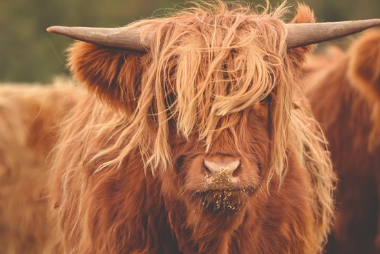 Aviemore, UK: A Highland Cow at Rothiemurchus