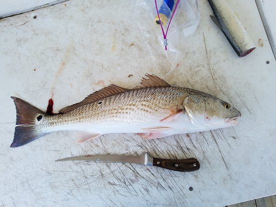 Parkway Motel & Marina: 22 inch redfish caught outside rabbit pass
