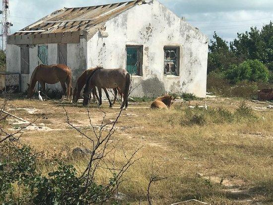 South Caicos: Plenty of wild horses