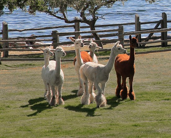 Malcolm Island, Canada: Enjoy the 9 alpacas that are part of our lodge