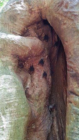 Nicoya, Costa Rica: Árbol al inicio del camino donde habitan murciélagos.