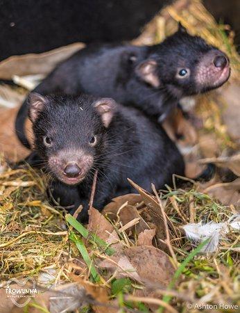 Mole Creek, أستراليا: Baby Devils