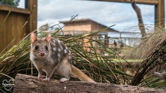 Mole Creek, أستراليا: Eastern Quoll