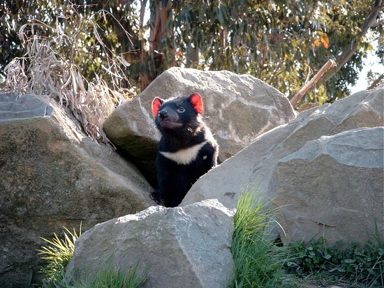 Mole Creek, Australia: Devil enjoying the sun