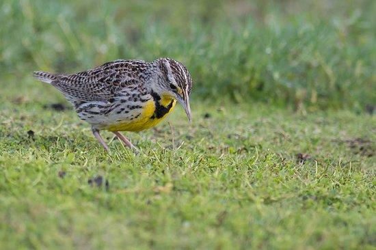 Galt, CA: western meadowlark