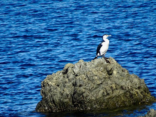 ‪‪Island Bay‬: Pied Shag (Cormorant) on Rock near Beach‬
