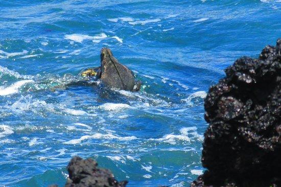 Puerto Villamil, Ecuador: marine iguana