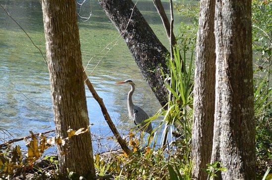 Homosassa Springs, FL: bird