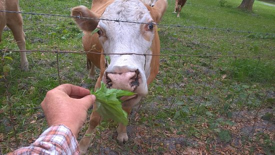 Brooksville, FL: Cow feeding