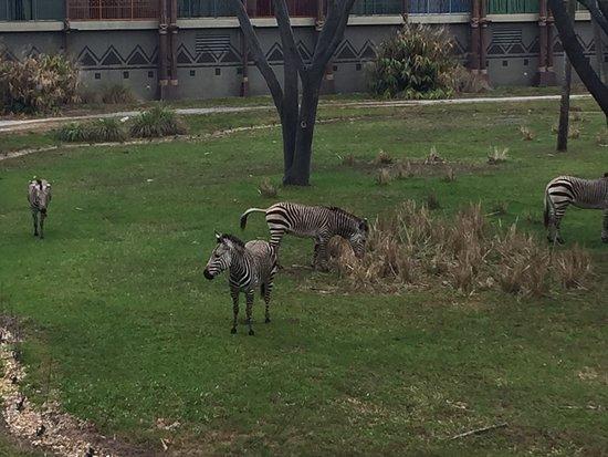 Disney's Animal Kingdom Villas - Kidani Village: View from my room when zebra were outside