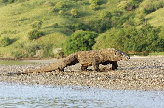 2-dages besøg Komodo Dragon: Et...